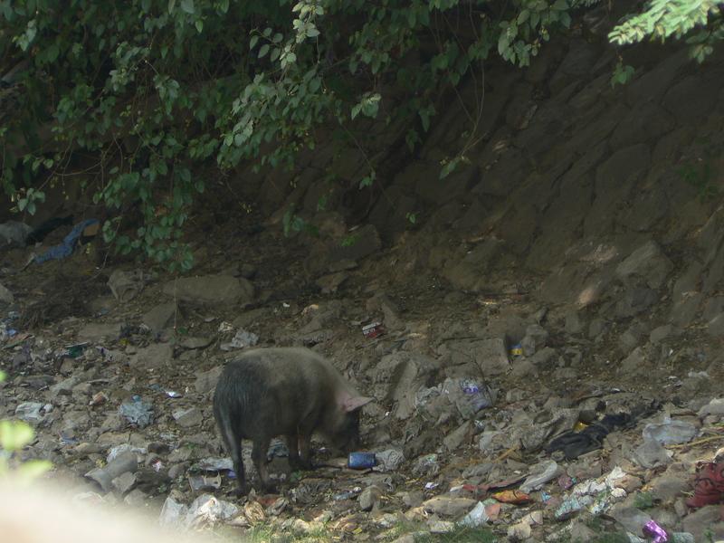 Quel cochon…