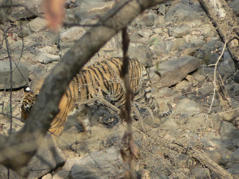 Le tigre (1)