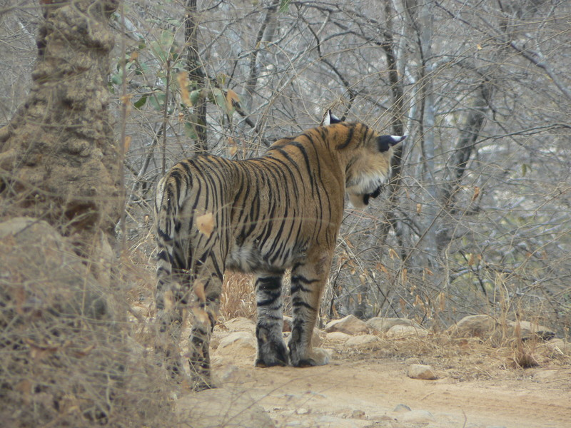 Le tigre (2)