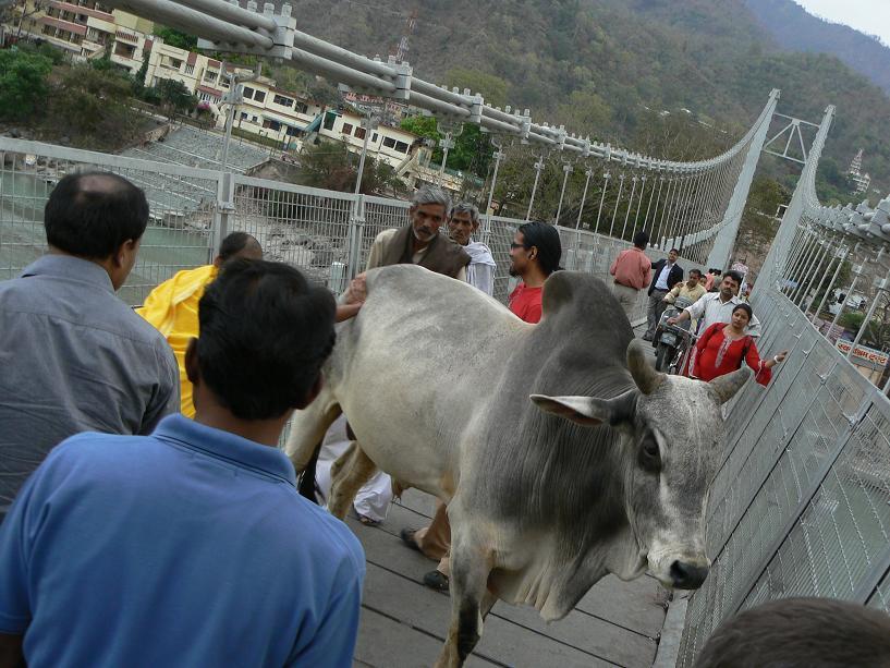 Vache en travers du pont
