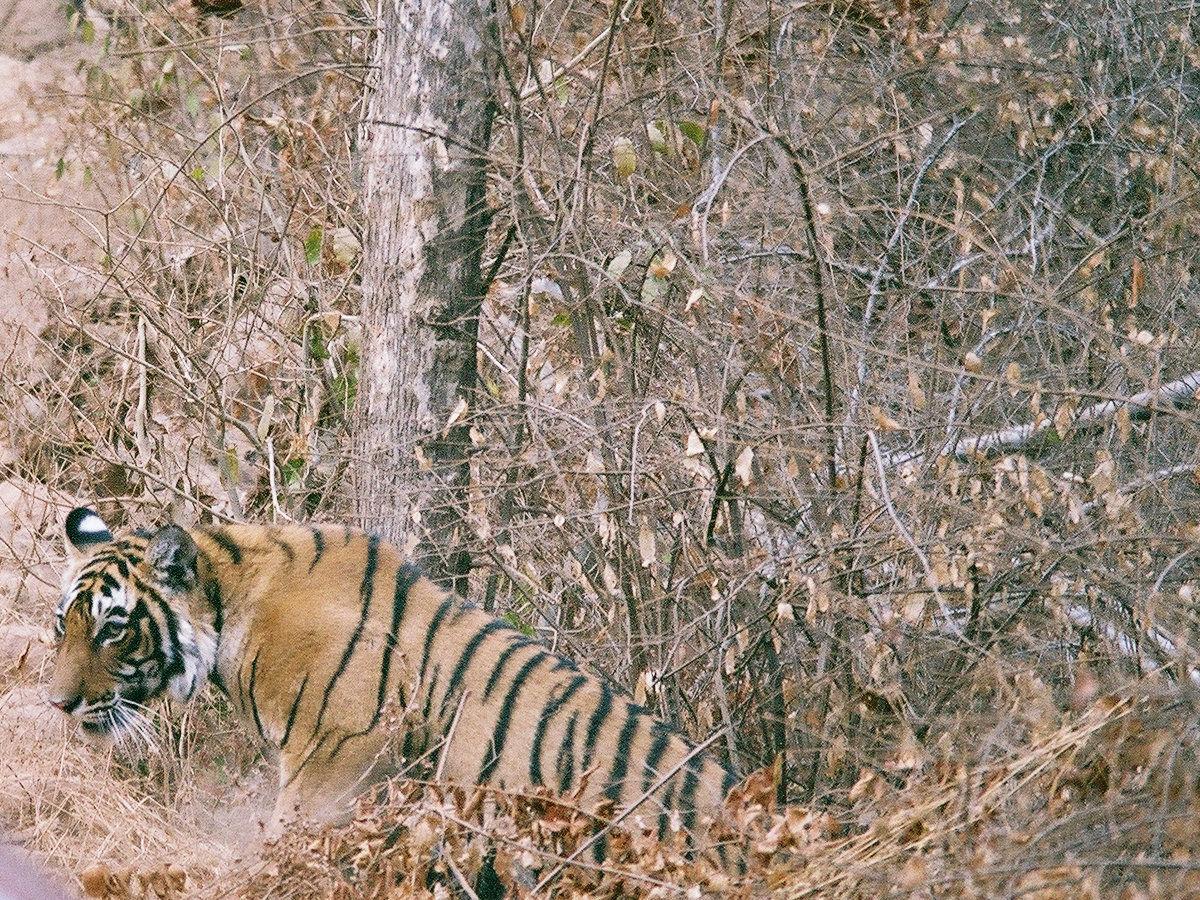 Le tigre s'approche