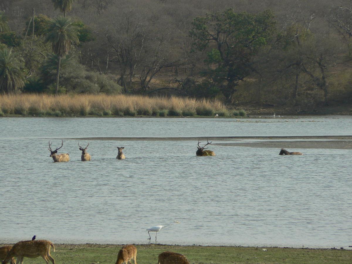 Sambar deers dans le lac